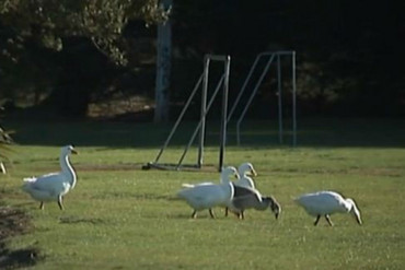 The geese making Watson Park their home (Newshub.)