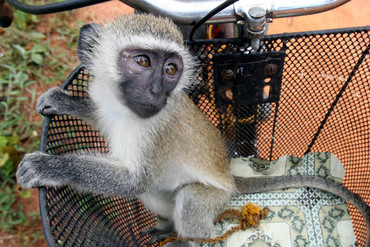 The offending monkey is thought to be a vervet like this one (Reuters)