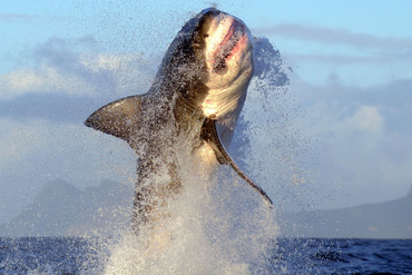 There are between 350 and 520 great white sharks left off the South African coast (Getty)