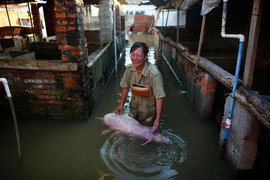 A woman cries as she holds body of a dead pig at a flooded farm in Xiaogan (Reuters)