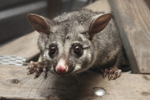Dr Morgan is a trustee of Predator Free NZ, an independent trust set up in 2013 (Getty)