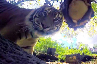 An Auckland Zoo tiger discovers the camera (Auckland Zoo)