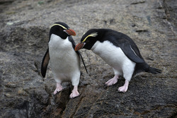 Penguins from two sub-Antarctic islands cover huge...