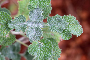 Horehound chokes some crops (Getty)