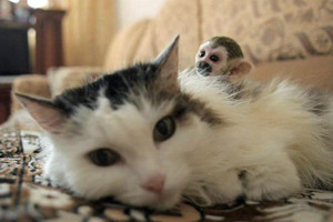 Rosinka and Fedor - cats and monkeys, living together
