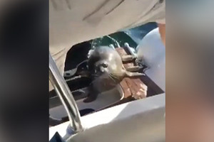 Seal narrowly escapes death with boat rescue