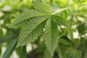 Marijuana growing in Colorado (Reuters)