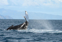 A whale in the Cook Strait. (Supplied/DOC)