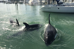 Orcas close enough to touch in Auckland marina