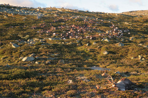 Hundreds of reindeer slain by lightning strike