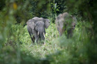 Elephants face century to recover from poaching