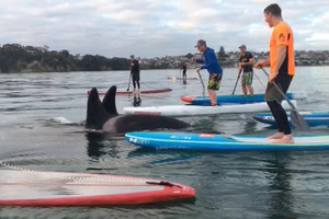 Paddleboarders broke rules in up-close orca visit - DoC