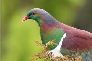 Kereru play an important role in our forest ecological system (Getty)
