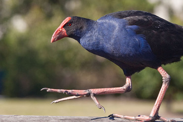 A Pukeko in the wild (Wikimedia / Richard Taylor)