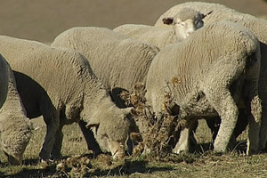 Rain brings short reprieve for Canterbury farmers