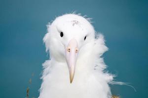 Moana the albatross (The Royal Albatross Centre / Facebook)