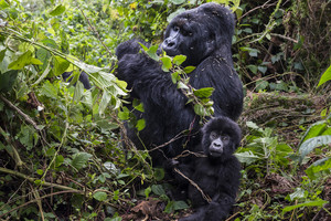 Two gorillas in the Virunga National Park(Reuters)