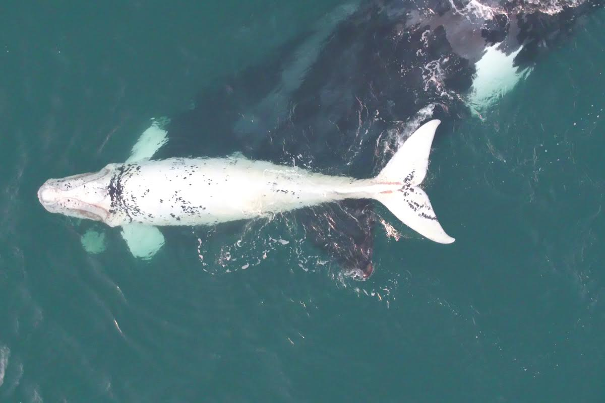 Drone Captures Footage Of Rare White Whale Calf
